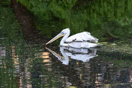 pelicans in the pond, birds on the water surface Banco de Imagens - 138324997