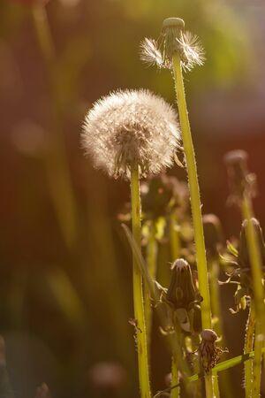 spring ripening dandelion flower in sunlight, light gentle background, spring mood