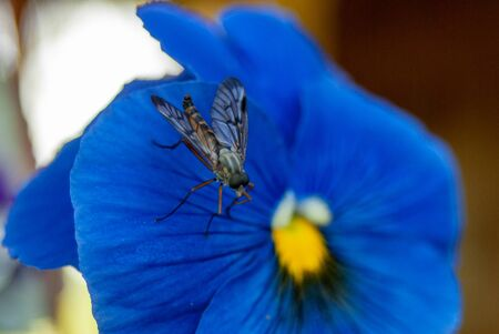 insect fly close-up macro on blue flower