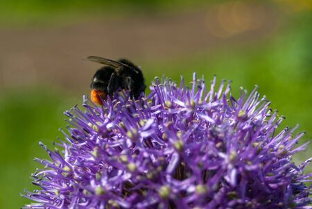 large bumblebee on a beautiful purple flower close-up macro Reklamní fotografie