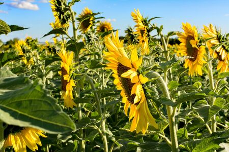 yellow sunflowers on a sunny day against the blue sky, sunflower field Stockfoto