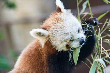 red Panda, cat bear close-up eating bamboo leaves