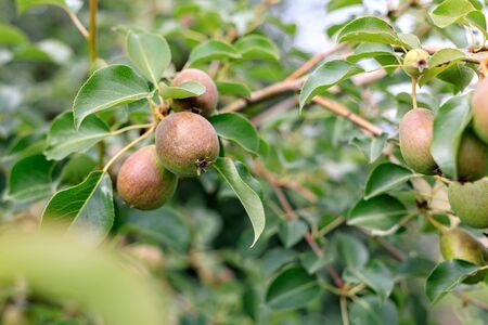 ripening ripe beautiful juicy fruit pears on a branch, pear tree in the garden