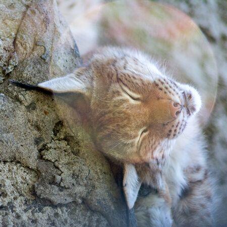 lynx basking in the sun, lynx in the sun, beautiful wild lynx close-up
