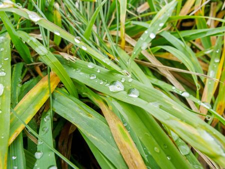 raindrops left on green grass leaves after rain in summer or spring, rainy weather, weather forecast with precipitation and showers, high humidity