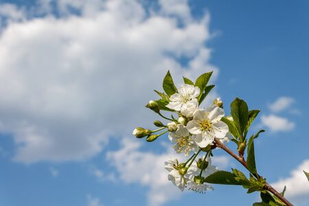 branch with blooming white flowers, cherry blossoms, against the blue blue sky