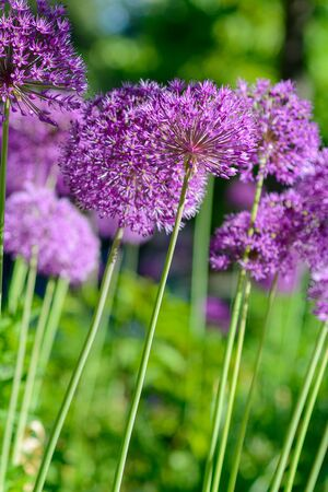 beautiful blooming spring purple pink flower on a sunny day in the park Banco de Imagens