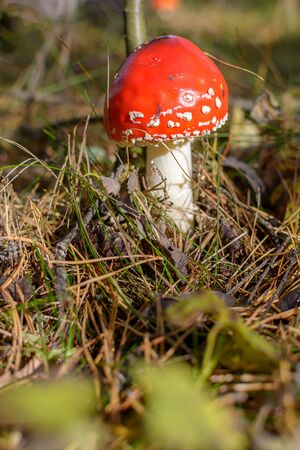 ripe bright red mushroom fly agaric in the forest in the sun, inedible poisonous hallucinogenic mushroom