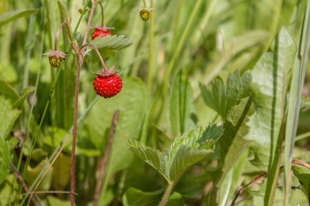 ripe red juicy sweet berry of wild strawberry field close-up, forest berries