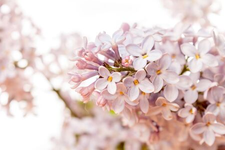 blooming branch of this live lilac close-up