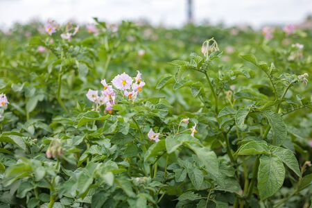 blooming flowers of ripening bush of potato plant, cultivated agricultural plant potato, organic crop and harvest, garden farm field