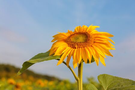 bright ripe flowers of sunflowers in the field at sunset, orange beautiful flowers, agricultural products, raw materials for the production of sunflower oil