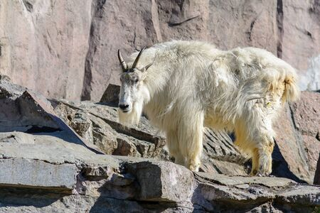 mountain goat with long white hair on the rocks