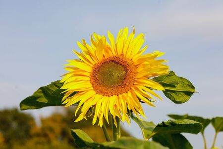 the common sunflower, is a large annual forb of the genus helianthus grown as a crop for its edible oil and edible fruits, ripe sunflower plant close-up against a clear sky on a sunny summer day, agricultural sunflower field 版權商用圖片