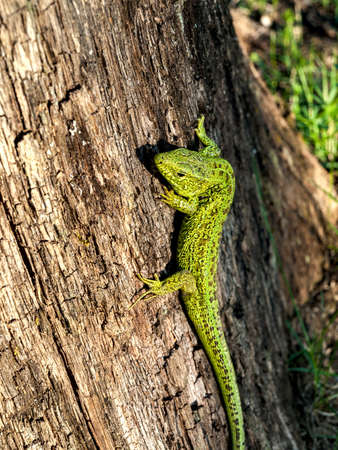 large green bright lizard on a tree close-up macro, forest fauna, mechanisms of biological protection and camouflage