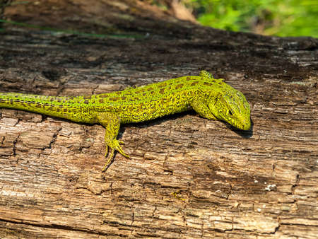 lizard of protective green color for camouflage in natural conditions, protective color of animals, mechanisms of adaptation