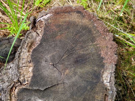 annual rings on the tree trunk, the age of the tree on the cut, the cut tree in the forest, the stump