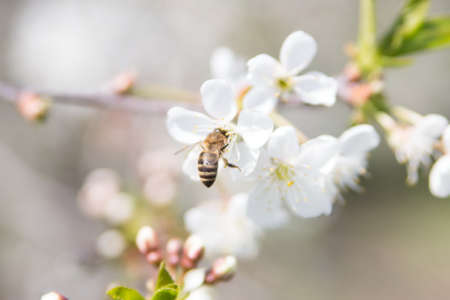 bee collects nectar on a cherry flower photo