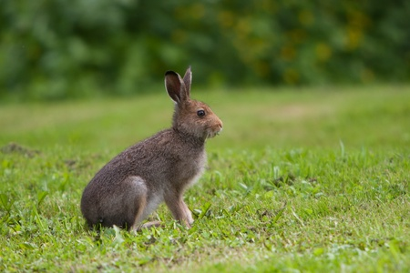liebre: Hare come la hierba en el prado