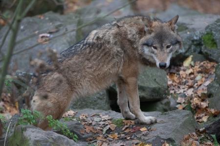 angor: Wolf