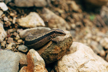Sand lizard hiding among the rocks (Lacerta agilis). Stock Photo