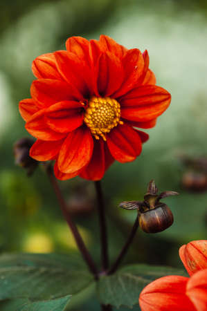 Red flower with yellow center and wavy petals dahlia brown red flower with yellow center and wavy petals dahlia brown bud stock mightylinksfo