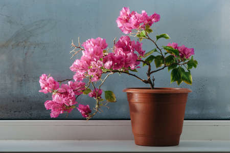 Pink bougainvillea growing in a pot on the windowsill. Misted glass.