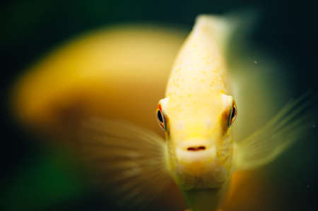 freshwater aquarium plants: Heros severus against a background of the fish. Yellow fish.