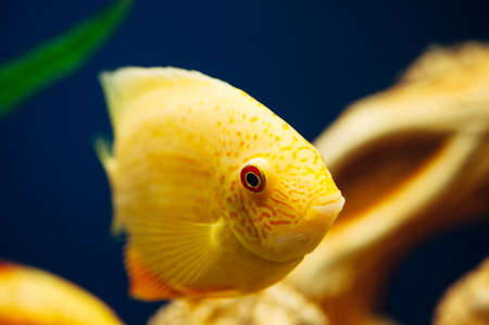 freshwater aquarium plants: Heros severus. Decoration in the aquarium. Yellow fish.