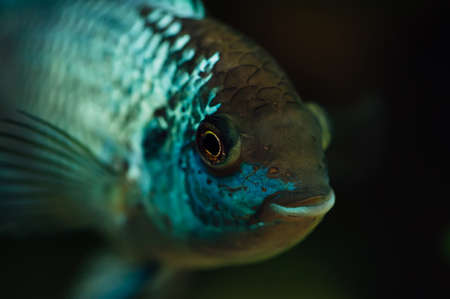 aquarium hobby: Nannacara. Blue fish on a dark background. Stock Photo