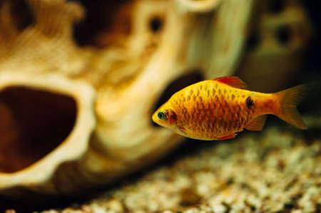 barbus: Barbus in an aquarium in the background of a decorative ship. Ceramics. Yellow. Orange.