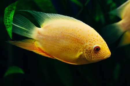 freshwater aquarium plants: Heros severus. Big gold fish on a background of seaweed. Aquarium. Yellow. Stock Photo
