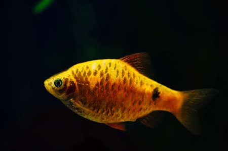 barbus: Barbus. Gold fish on a dark background. Aquarium. Yellow. Orange. Stock Photo
