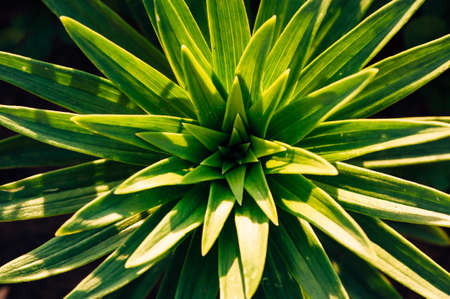 Green leaves of lilies in the suns rays. View from above. Leaves in the form of asterisks.