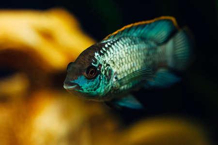 Nannacara. Blue fish in the background of a decorative ship. Ceramics. Yellow. Stock Photo