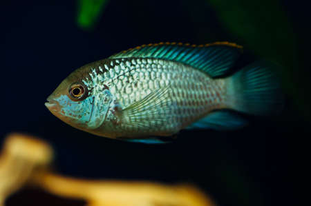 freshwater aquarium plants: Nannacara. Blue fish in the background of a decorative ship. Ceramics. Yellow. Stock Photo