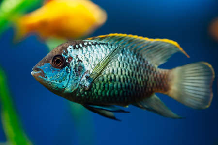 freshwater aquarium plants: Nannacara. Blue aquarium fish on a background other fish. Cichlids. Stock Photo