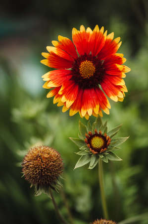 wilting: The stage of growth of the flower Gaillardia pulchella: a bud, flowering, wilting. Stock Photo