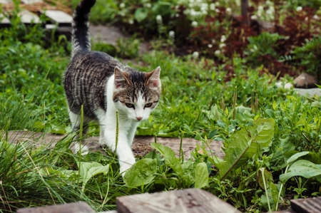 Tabby cat in the green grass close-up. The dew on the grass. Stock Photo