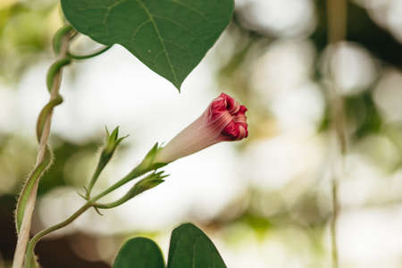 The bud of the Ipomea purpureae in the morning soft light. A gentle pink curly flower.