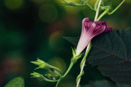 A bud of a dark violet petunia on a background of a black leaf.