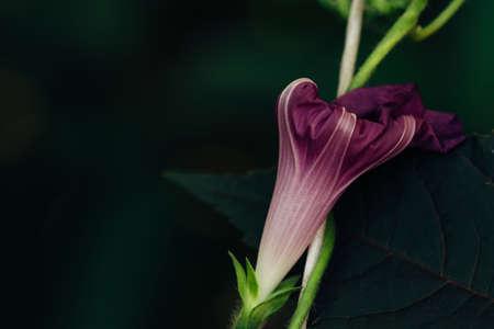 A bud of a dark violet petunia on a background of a black leaf. Atmospheric. Gothic.