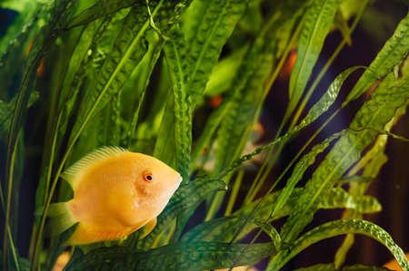 Heros severus floats in a home aquarium among algae. A big yellow fish.