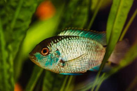 Nannacara. Blue aquarium fish on a background of seaweed.
