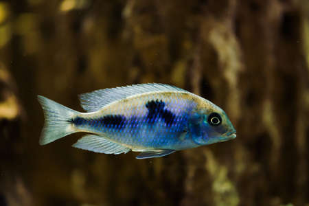 Sciaenochromis Fryeri fish of blue color with black spots floats in aquarium. Mbuna in fish tank. Cichlids.