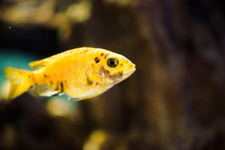 Msobo Magunga fish of yellow color with black spots floats in aquarium. Metriaclima in fish tank. Cichlids, mbuna.