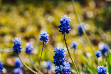 Several beautiful blue bluebells on sunny background of greenery. Picturesque cobalt flowers surrounded by green grasses with copy space. Small cyan muscari close-up. Colorful hyacinth in sunlight. Archivio Fotografico