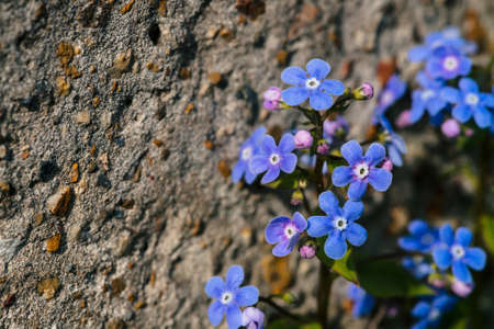 Beautiful inflorescence of brunnera macrophylla close up. Picturesque image of small blue flowers near rock with stones with copy space. Cobalt brunnera siberian and violet buds in sunlight.