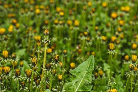 Group of yellow dandelions on green lawn. Small beautiful flowers in grass close up. Textured background of blowball in greenery.