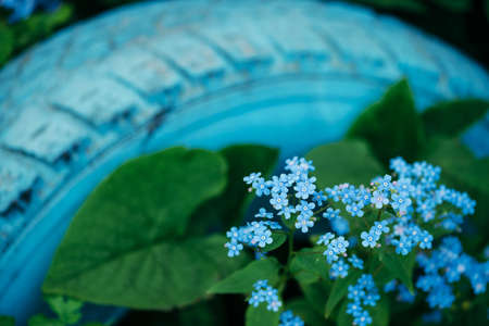 Beautiful inflorescence of brunnera macrophylla close up. Picturesque small blue flowers surrounded by green leaves with copy space on blue tire. Cobalt brunnera siberian and old wheel. Imagens